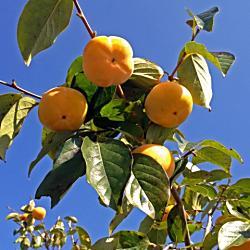 更地にある柿、栗などを根こそぎ持っていかれた場合の対処方法は?